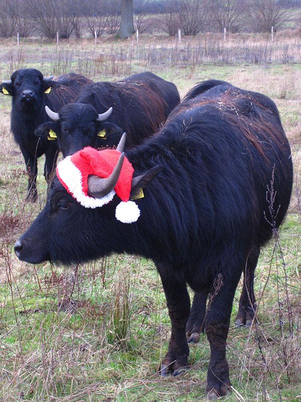 Weihnachten 2015 Holstein-Büffel