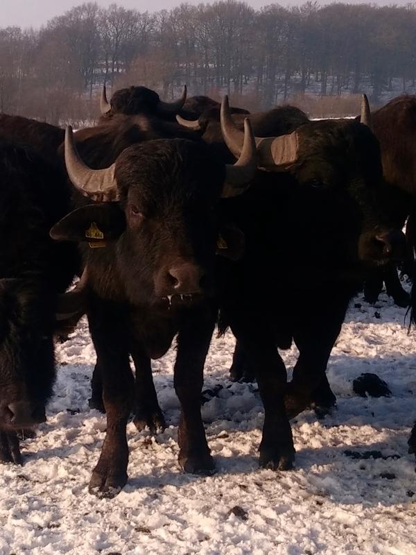 unternehmen im büffel im juli