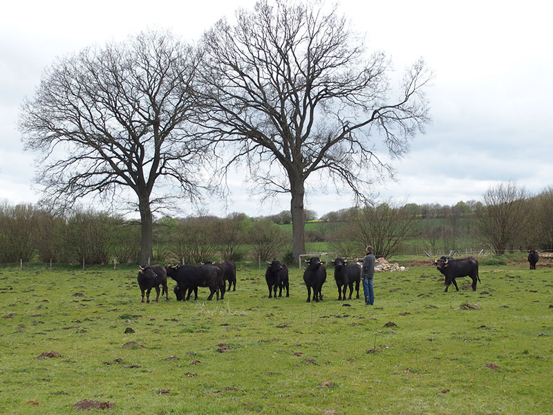 Winterweide Holstein-Büffel