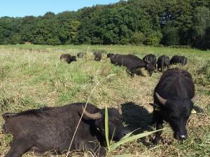 Holstein-Büffel Premiumfleisch Landschaftspflege Wasserbüffel
