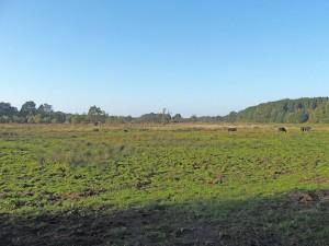 Holstein-Büffel Leezen Norddeutschland