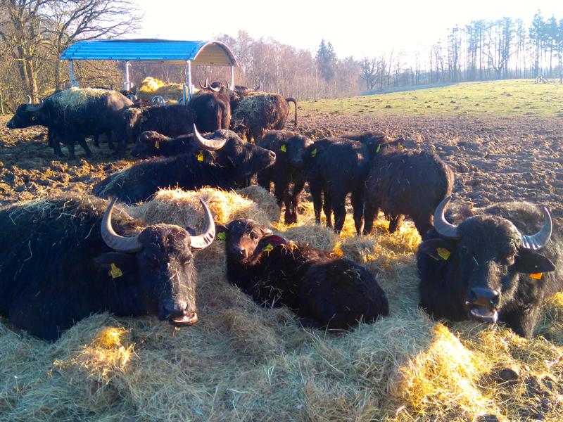Wasserbüffel Norddeutschland Holstein-Büffel