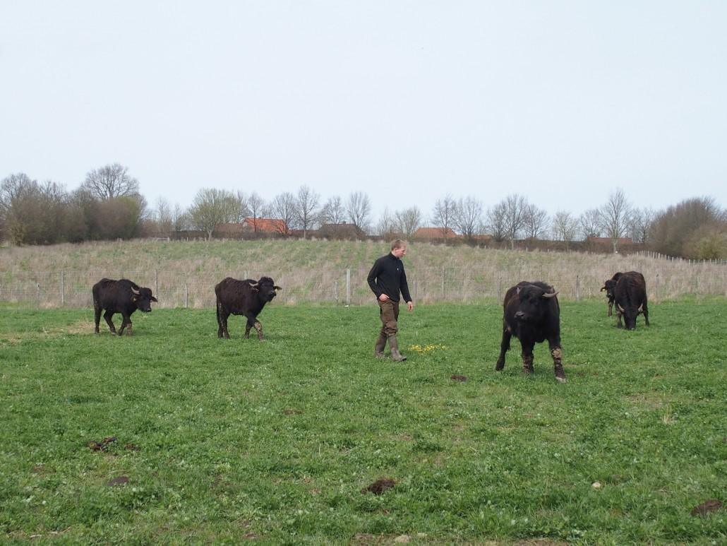 Holstein-Büffel, Winterweide, Premium-Fleisch, Hamburg, Stormarn